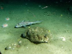 Spotted ratfish (Hydrolagus colliei) in soft bottom habitat at 175 meters depth Photo