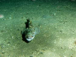 Lingcod (Ophiodon elongatus) on gravel bottom ocean floor at 175 meters depth Photo