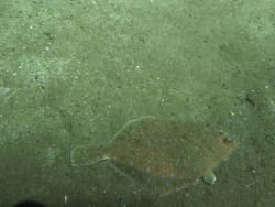 Sand sole (Psettichthys melanostictus) camouflaged on soft bottom habitat at 116 meters depth Photo