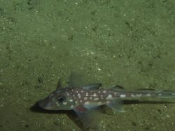 Spotted Ratfish (Hydrolagus colliei) on soft bottom habitat at 180 meters depth Photo