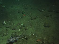 Spotted Ratfish (Hydrolagus colliei) and invertebrates in soft bottom habitat at 130 meters depth Photo