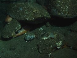 Rosy Rockfish (Sebastes rosaceus) and Invertebrates in soft bottom habitat with boulders at 130 meters depth Photo