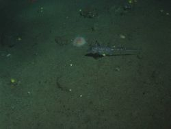 Spotted Ratfish (Hydrolagus colliei) on soft bottom habitat at 130 meters depth Photo