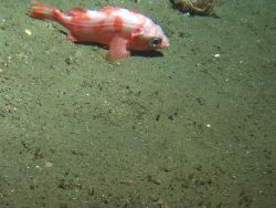 Splitnose rockfish (Sebastes diploproa) on soft bottom habitat at 302 meters Photo