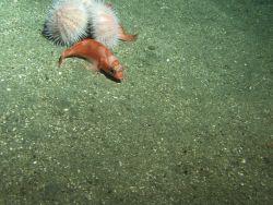 Stripetail rockfish (Sebastes saxicola) on soft bottom habitat with two urchins Photo