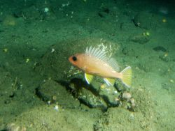 Greenspotted rockfish (Sebastes chlorostictus) in cobble habitat at 115 meters depth Photo