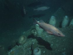 Bocaccio Rockfish (Sebastes paucispinis) and vase sponges on rocky outcropping at 116 meters depth Photo