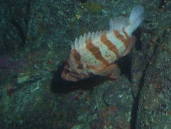 Flag Rockfish (Sebastes rubrivinctus) on rocky outcropping at 74 meters Photo