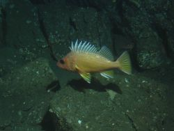 Greenspotted rockfish (Sebastes chlorostictus)in boulder habitat at 175 meters depth Photo