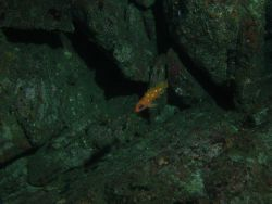 Rosy rockfish (Sebastes rosaceus) in front of boulder habitat at 75 meters depth Photo