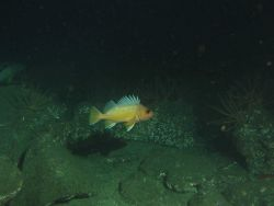 Greenspotted rockfish (Sebastes chlorostictus) in sandy boulder habitat at 131 meters depth Photo