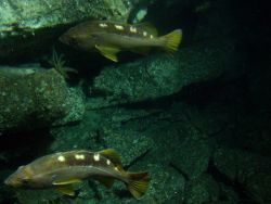 Yellowtail rockfish (Sebastes flavidus) close up on rocky reef habitat at 116 meters depth Photo