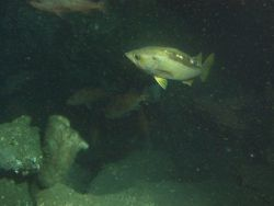 Yellowtail Rockfish (Sebastes flavidus) school on sandy boulder habitat at 116 meters depth Photo
