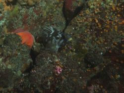 Gopher rockfish (Sebastes carnatus) with other invertebrates in crevice in rocky reef habitat at 25 meters depth Photo