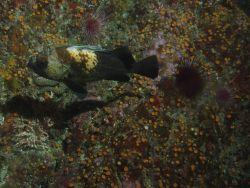 Quillback rockfish (Sebastes maliger) at 25 meters depth Photo