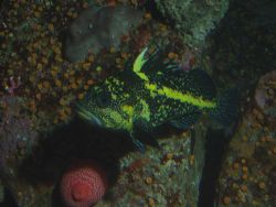 China rockfish (Sebastes nebulosus) in rocky reef habitat at 30 meters depth. Photo