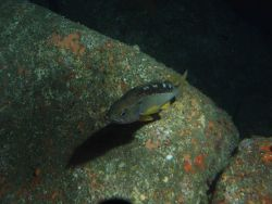 Yellowtail rockfish (Sebastes flavidus) close up over rocky slope at 75 meters depth Photo