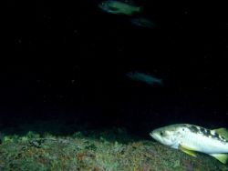 Yellowtail rockfish (Sebastes flavidus) school on rocky reef habitat at 95 meters depth Photo