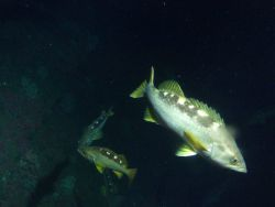 Yellowtail Rockfish (Sebastes flavidus) on rocky reef habitat at 65 meters depth Photo