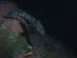 Lingcod (Ophiodon elongatus) on rocky reef habitat at 50 meters Photo