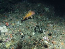 Rosy Rockfish (Sebastes rosaceus) close up in rocky reef habitat at 131 meters depth Photo