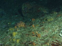 Rosy Rockfish (Sebastes rosaceus) on rocky reef habitat at 65 meters depth Photo