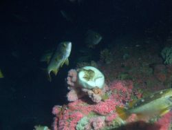 Yellowtail Rockfish (Sebastes flavidus) school on rocky reef habitat at 65 meters depth Photo