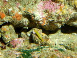 Blackeyed Goby (Coryphopterus nicholsii) on rocky outcropping at 65 meters depth Photo