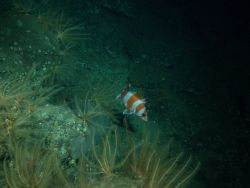 Flag rockfish on rocky outcropping at 116 meters depth Photo