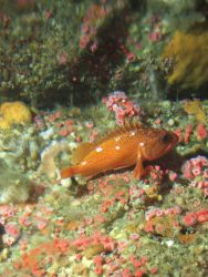 Starry rockfish (Sebastes constellatus) and strawberry anemone (Corynactis californica) on rocky interface at 90 meters depth Photo