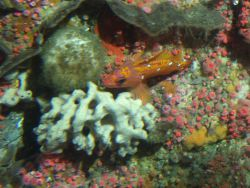 Rosy rockfish (Sebastes rosaceus), sponges, and strawberry anemones (Corynactis californica) in reef habitat at 90 meters depth Photo