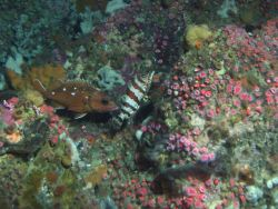 Starry rockfish (Sebastes constellatus), painted greenling (Oxylebius pictus) and strawberry anemone (Corynactis californica) in reef habitat at 90 me Photo