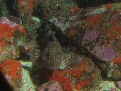 Lingcod (Ophiodon elongatus) up close in Rocky Reef habitat at 31 meters depth Photo