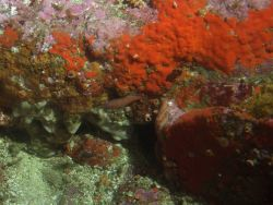 Young of year blue rockfish (Sebastes mystinus) in rocky reef habitat at 31 meters depth Photo