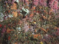 Foliose and crustose sponges, strawberry anemones, orange cup corals and other invertebrates cover the upper rocky reef habitat at 50 meters Photo