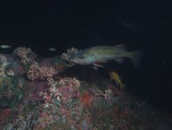 Bocaccio (Sebastes paucispinis) and rosy rockfish (Sebastes rosaceus) over covered rocky reef habitat at 50 meters Photo