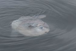 Ocean Sunfish (Mola mola) swimming at surface Photo