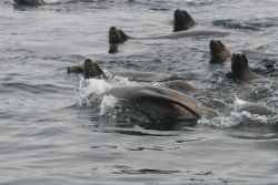 California Sea Lions (Zalophus californianus) swimming on surface around bull kelp raft. Photo