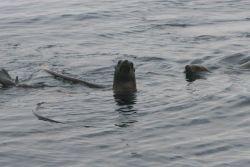 California Sea Lions (Zalophus californianus) swimming on surface around bull kelp raft. Photo