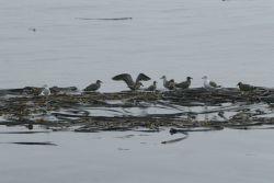 Gulls using kelp as perch Photo