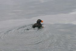 Tufted Puffin (Fratercula cirrhata) in non-breeding plumage sitting on water. Photo