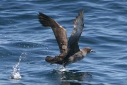 Sooty Shearwater (Puffinus griseus) Photo