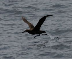 Black-footed albatross lifting off from water Photo