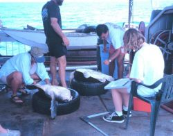 NMFS scientists studying and tagging marine turtle aboard NOAA Ship DAVID STARR JORDAN. Photo