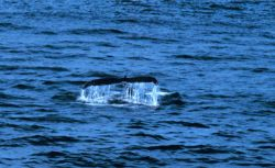 Tail of a right whale sounding. Photo