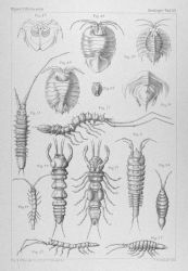 Various isopods and small crustaceans seen during the course of the voyage of the GAZELLE. Photo