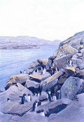Rockhopper penguin colony at the entrance to Gazelle Harbor, Kerguelen Island Photo