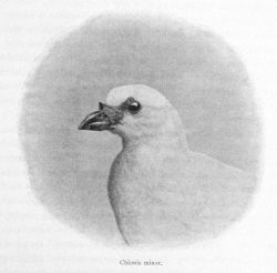 Chionis minor, the lesser sheathbill Photo
