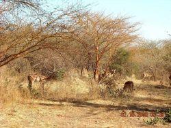 Impala grazing at the Bandia Game Preserve. Photo