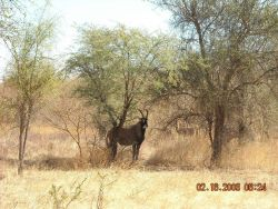 An oryx at the Bandia Game Preserve Photo